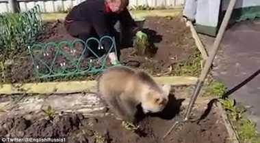 VIDEO: Lucunya... Bayi Beruang Ini Bantu Petani Rusia Menanam Kentang