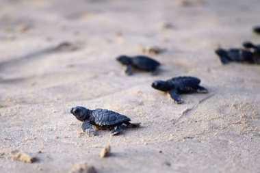 Pantai Sukamade Jadi Sarang Penyu Hijau Bertelur