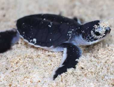 Lang Tengah Turtle Watch, Salah Satu Upaya Penyelamatan Penyu di Malaysia