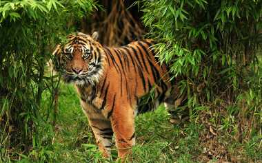 Ngeri, Harimau Sumatera Berkeliaran di Pemukiman Warga, Sempat Menyerang Pasutri