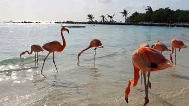 Kini, Wisatawan Dunia Bisa Berenang Bareng Flamingo di Aruba