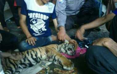 Sakit, Anak Harimau Sumatera Ini Tergeletak di Kebun Warga