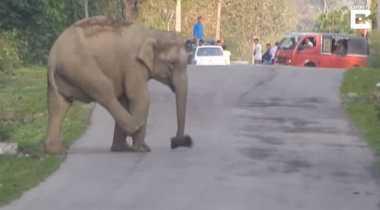 VIDEO: Waduh! Seekor Gajah Main Sepak Bola di Tengah Jalan di India dan Sebabkan Kemacetan