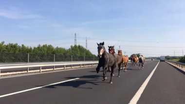 VIDEO: Duh, Sekumpulan Kuda Mendadak Muncul di Jalan Raya Hungaria