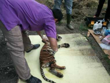 Duh! Diduga Dehidrasi Tinggi Seekor Anak Harimau Mati