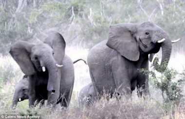 VIDEO: Kocak! Kawanan Gajah di Afrika Lari Kocar-kacir Dikejar Lebah