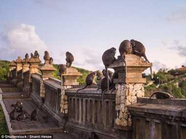 Monyet Bali Jadi Sorotan Media Asing