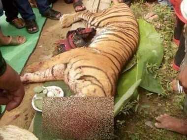 Harimau Sumatera Mati Ditombak Warga, BKSDA Bentuk Tim Khusus