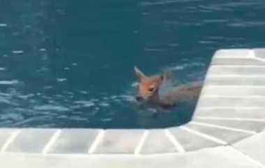 VIDEO: Imutnya... Seekor Anak Rusa Hobi Mampir di Rumah Sebuah Keluarga untuk Berenang