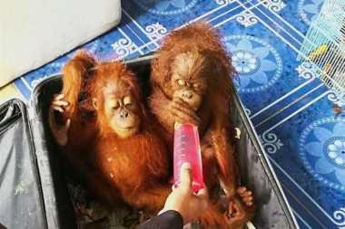 Selundupkan Orangutan, Otoritas Thailand Ciduk Pria Malaysia