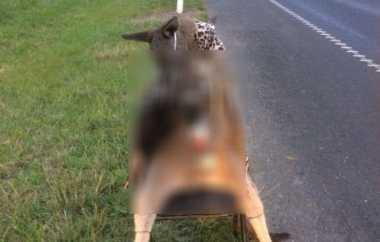 Seekor Kanguru Ditemukan Tewas sambil Memegang Botol Miras