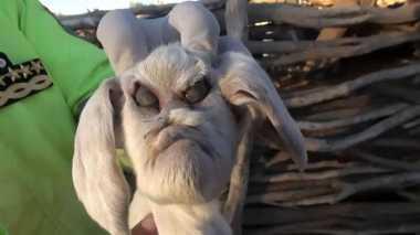 Unik! Kambing Berwajah Iblis Lahir di Argentina