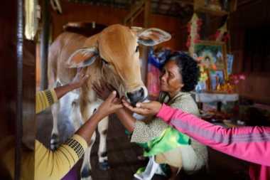 Yakini Reinkarnasi, Nenek di Kamboja Anggap Seekor Sapi Sebagai Suaminya