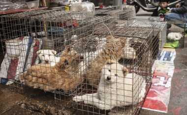 Hebat, Aktivis Selamatkan Ratusan Anjing Sebelum Dikonsumsi di Festival Bok Nal