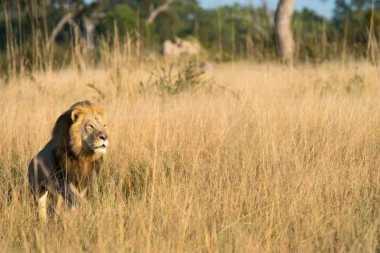 Miris! Singa Ini Mati Ditembak Hanya demi Sebuah Turnamen di Zimbabwe