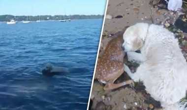 VIDEO: Heroik, Anjing Ini Selamatkan Anak Rusa yang Tenggelam
