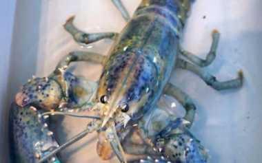 Peluang Satu Banding Tiga Juta, Nelayan AS Tangkap Lobster Biru Langka