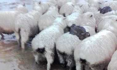 Lucu! Kelinci di Selandia Baru Tunggangi Domba