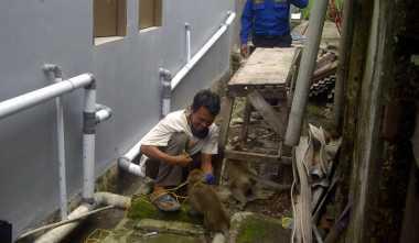 Tegas! BKSDA Sultra Segera Menghukum Pelaku Perburuan Monyet