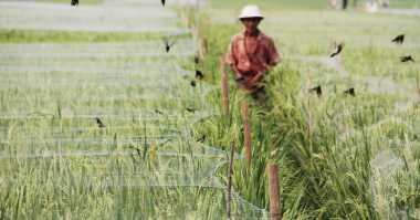 Mantap! Padi Gogo Aromatik Karya Guru Besar Ini Dikembangkan di Maluku Utara