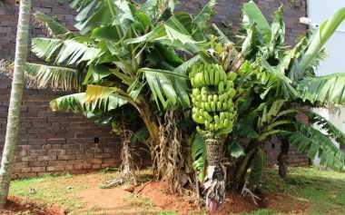 TERUNGKAP! Ternyata Pohon Pisang Adalah Tanaman Herbal Terbesar di Dunia