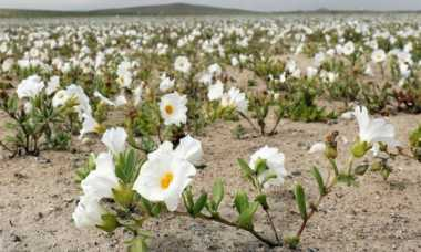 Aneh! Lautan Bunga Tiba-Tiba Bermekaran di Gurun Terkering di Dunia, Nih Foto-Fotonya