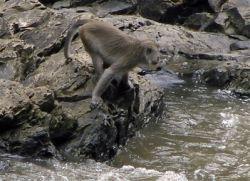 Kera Penangkap Ikan Ditemukan di Kalimantan & Sumatra
