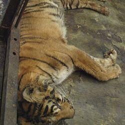 Harimau Sumatera mati di kebon binatang  (Foto: AP)
