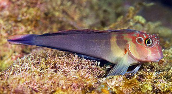 Ilmuwan AS Temukan Spesies Ikan Baru