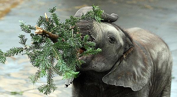 Ada Gajah Pemakan Manusia Di India Okezone News