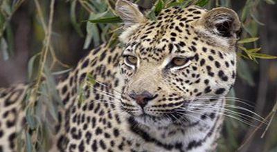 37+ Hewan jaguar putih terbaru