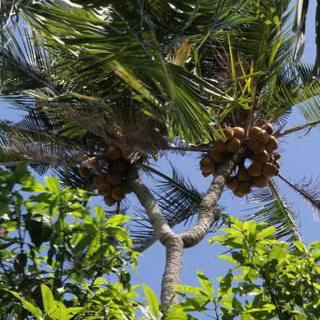 Pohon Kelapa Bercabang Ini Diyakini Ampuh Obati Penyakit Okezone