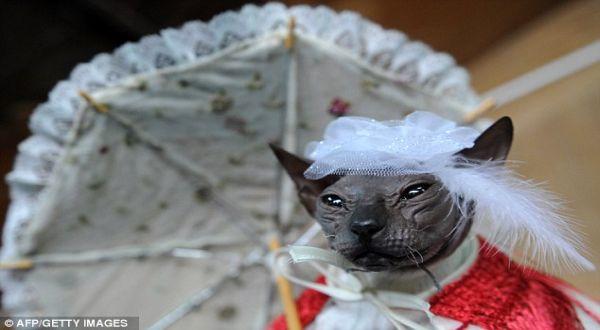 Kucing Don Sphynx, yang dianggap seram (Foto: AFP)