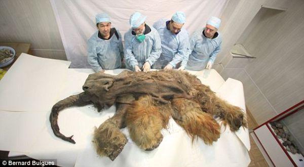 Gajah purba Mammoth yang ditemukan utuh (Foto: Daily Mail)