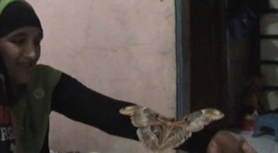 Hewan Unik Kupu-kupu Raksasa di Kendal Jawa Tengah