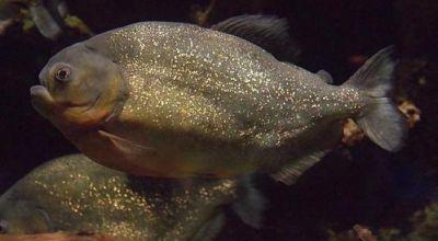 Ikan piranha (Foto: UPI)