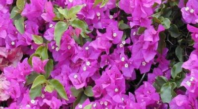 Bunga Bugenvil Terbesar Di Dunia Ditemukan Di China [ www.BlogApaAja.com ]