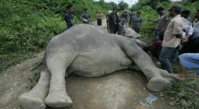 Gajah mati di Sampoiniet, Aceh Jaya (Foto: Okezone/Salman Mardira)