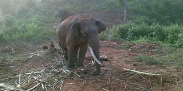 Ilustrasi gajah Sumatera (Foto:jitourism)