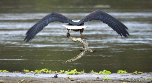 Wuih Burung Elang Ini Terkam Bayi Buaya Okezone Techno