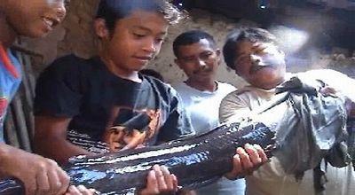 Ikan lele raksasa (Ilustrasi, Dok: Sindo TV)