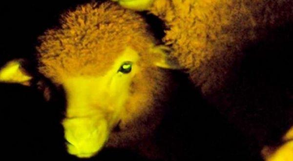 Pertama di Dunia, Domba Transgenetik Menyala dalam Gelap