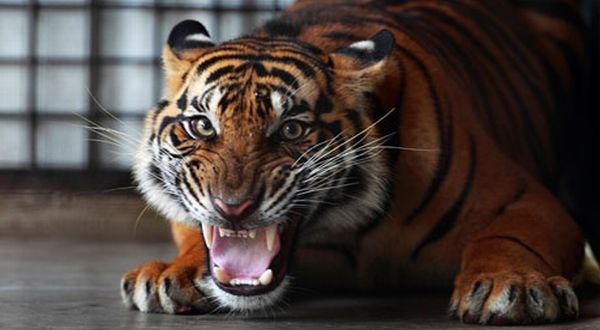 Harimau Sumatra (Foto: Reuters)