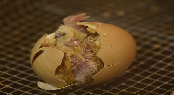Wah, Telur Ayam Lahirkan Anak Burung