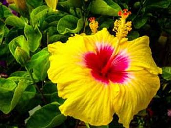 Bunga Kembang Sepatu Atasi Rambut Rontok Okezone Lifestyle