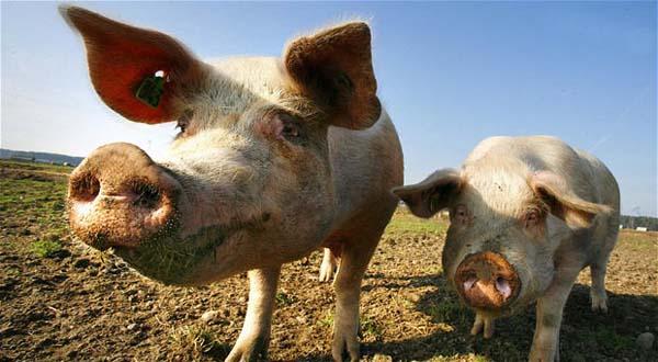Foto Babi Di Potong Ribuan Babi Di Bali Dipotong Secara Massal Okezone News