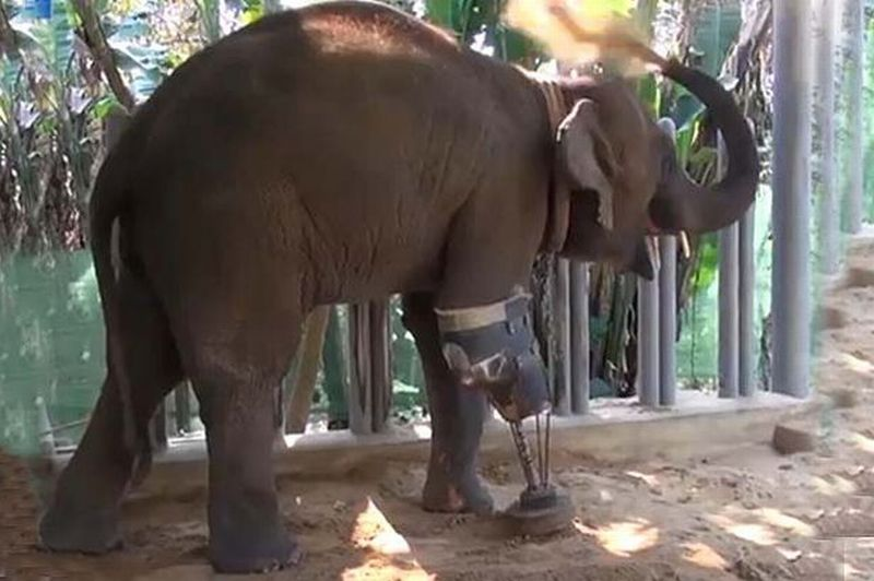 Gajah Berkaki Tiga Akhirnya Dapat Kaki Baru