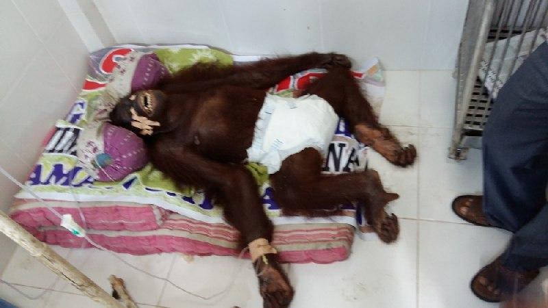 Orangutan tewas usai diperkosa dua pejantan (Foto: Rus Akbar/Okezone)