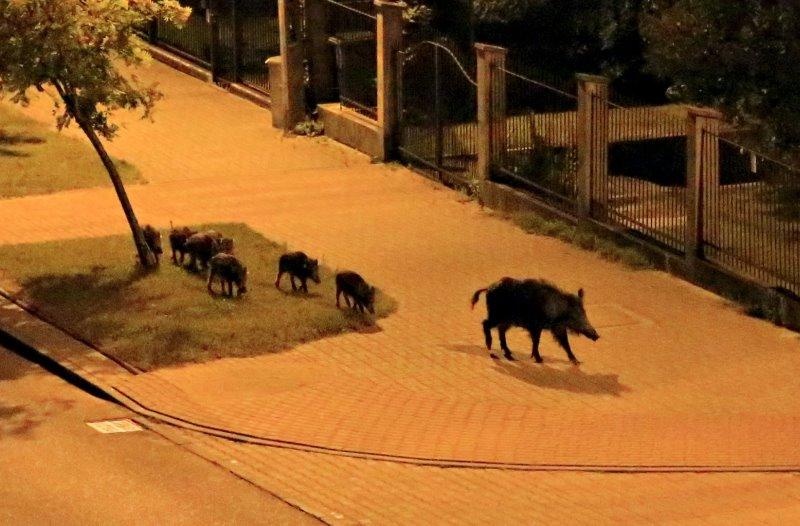 https: img.okezone.com content 2015 08 04 338 1190265 aktivitas-perburuan-babi-hutan-di-bogor-tak-seizin-warga-Tst4blIPE3.jpg