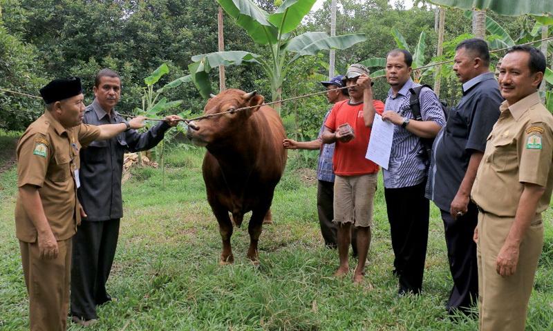 Sapi Limousin dari Jokowi untuk Pengungsi Sinabung